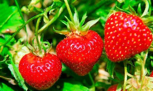 плоды клубники
