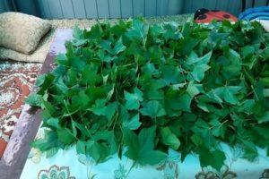 Когда нужно собирать и как сушить листья смородины