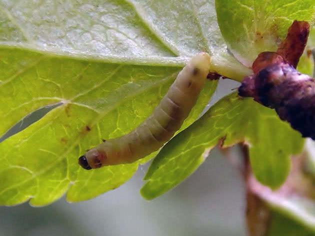 листовертка малины