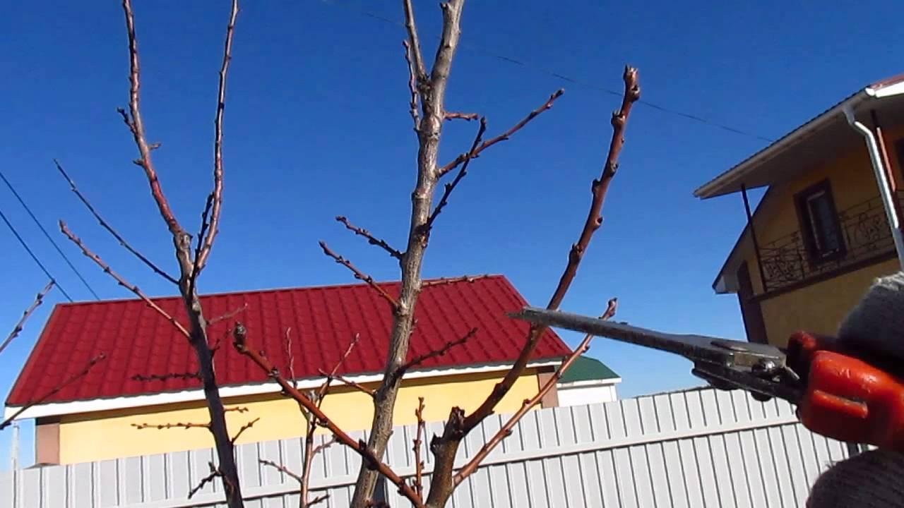 обрезка абрикосы