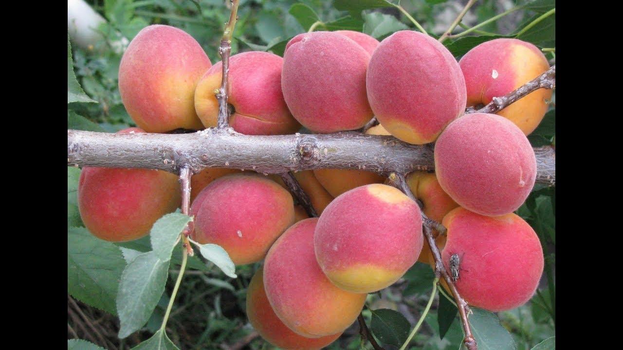 спелый абрикос