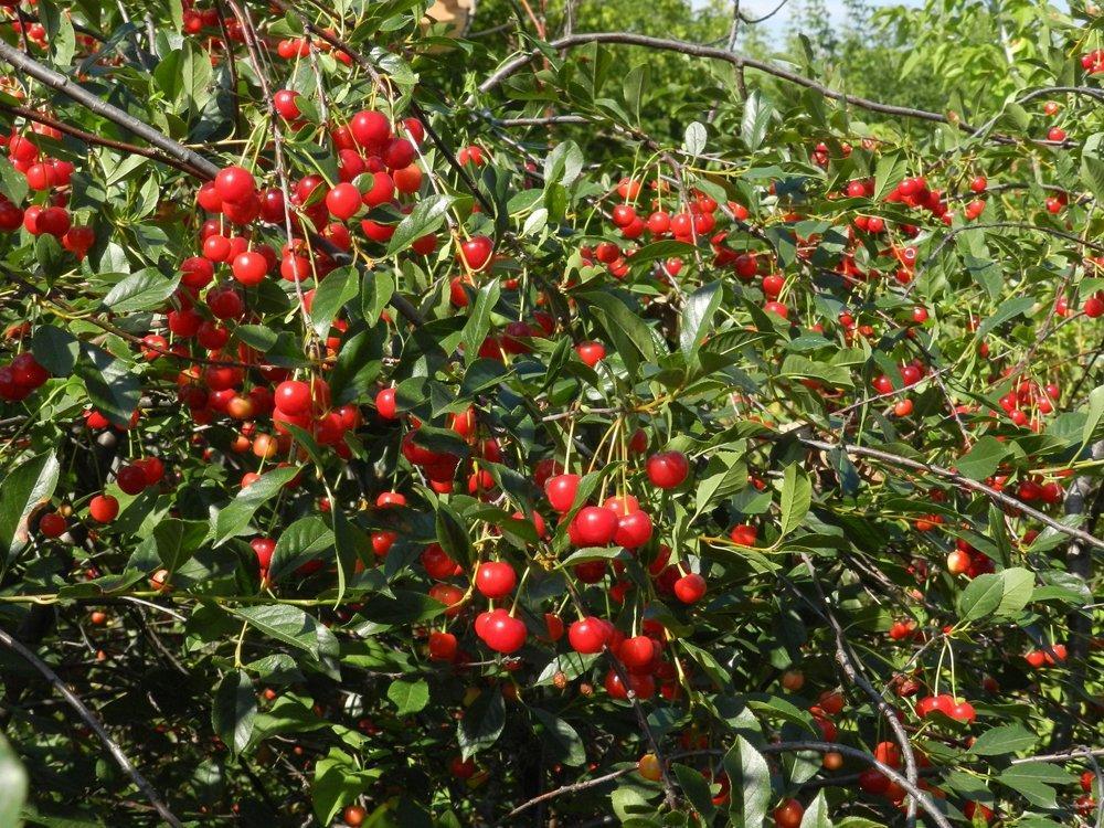 много вишни