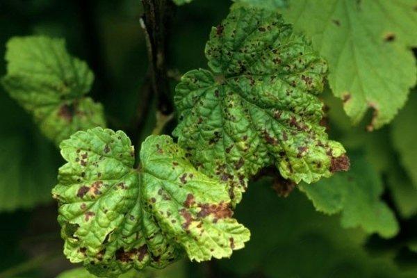 болезнь кустов смородины