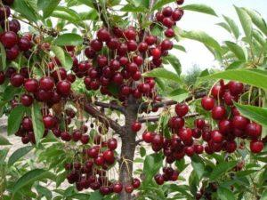 Описание и опылители вишни сорта Владимирская, посадка и уход