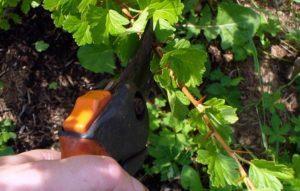 Когда и как правильно делать обрезку крыжовника, чтобы был хороший урожай