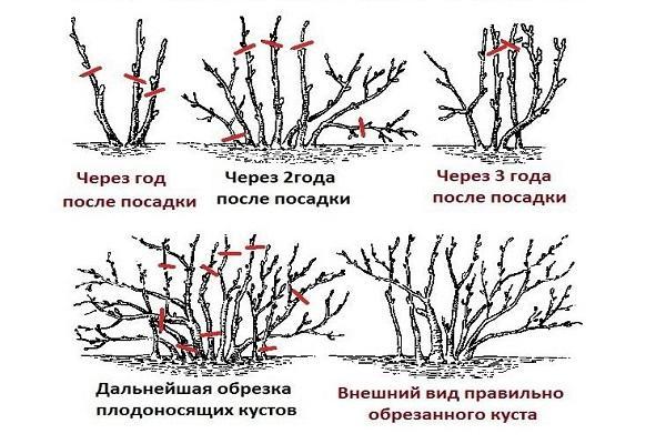 обрезка кустовых деревьев