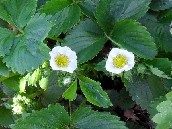 цветки клубники