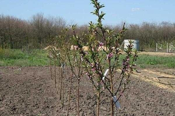 молодой сад груш