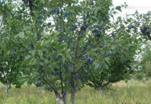 Чем лучше подкормить сливу летом и календарь удобрений