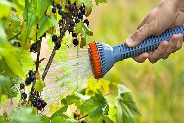 полив смородины