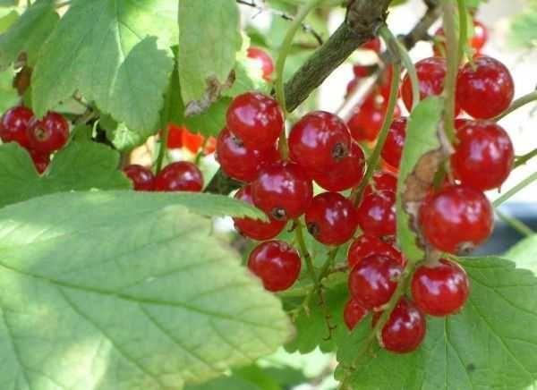 ягоды красные