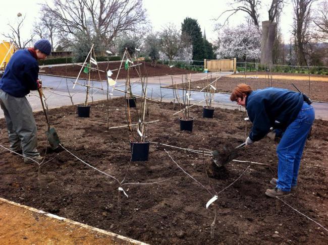 посадка сада колоновидных вишни