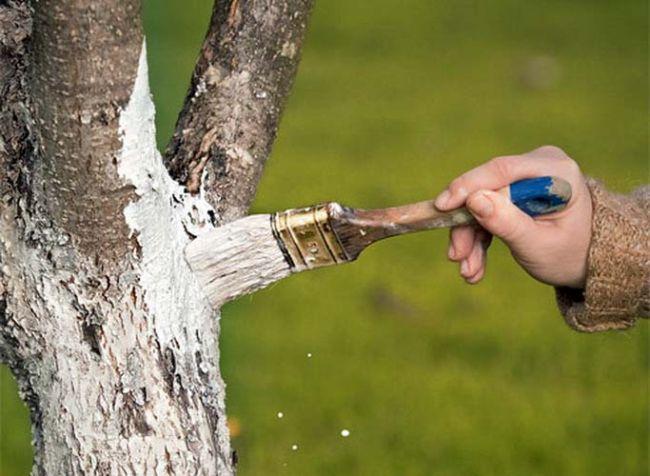 обработка стволов вишни
