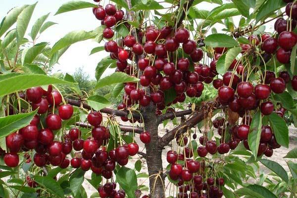 большая красная вишня