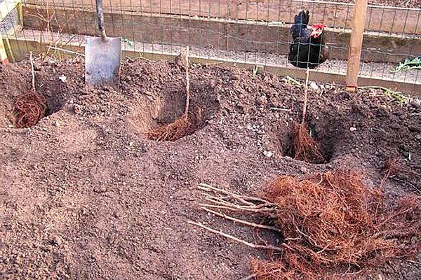 посадка малины в яму