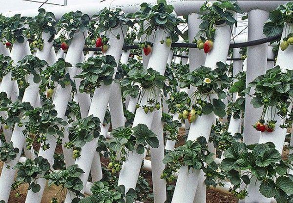 выращивание клубники в вертикальной трубе