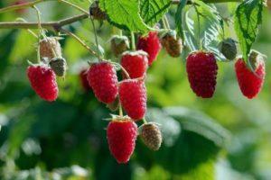 Описание и характеристики малины сорта Гусар, уход и выращивание