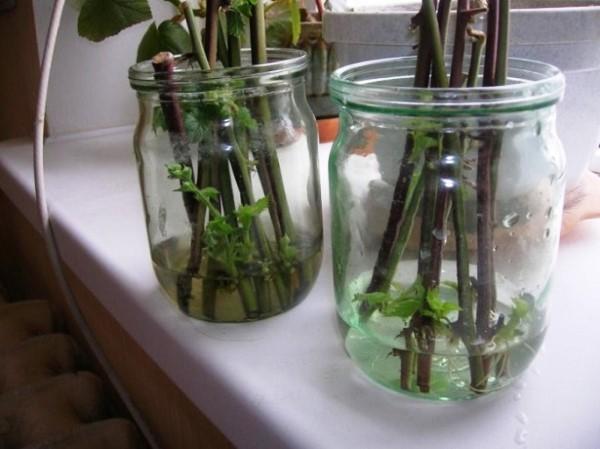 зеленые черенки ежевики