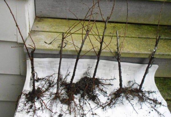 черенки с корнями