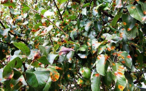 желтые пятна на листьях груши