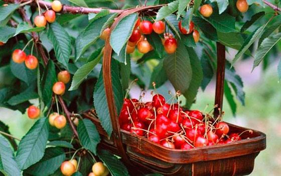 соседи вишни