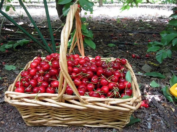 уборка вишни