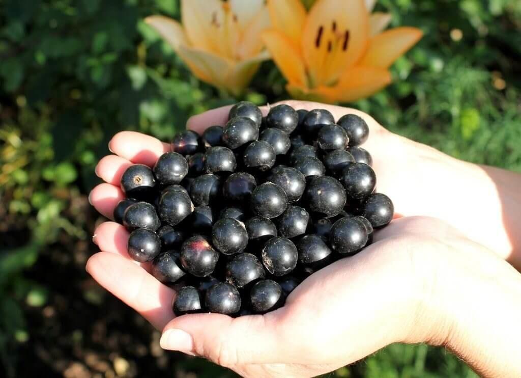 урожай черной смородины добрыня