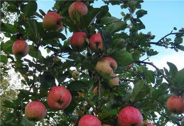 яблока сладкое