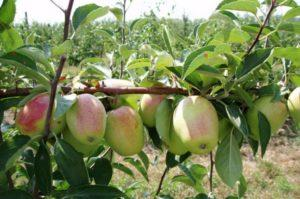 Описание и разновидности яблони сорта Синап, правила посадки и ухода