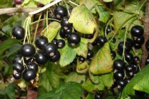 Сколько лет может плодоносить черная смородина и как увеличить урожайность