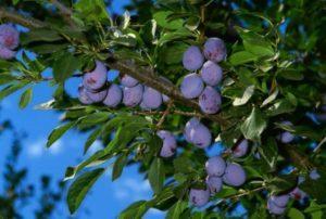 Выращивание и уход за сливой в открытом грунте, как правильно посадить