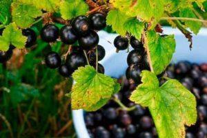 Как посадить, вырастить и ухаживать за смородиной из семян в домашних условиях
