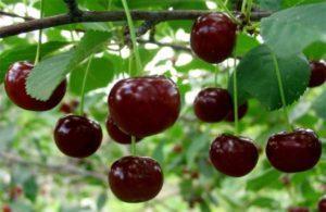 Описание вишни сорта Жуковская, посадка и уход в открытом грунте