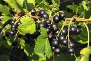 Описание черной смородины сорта Титания, особенности посадки и ухода