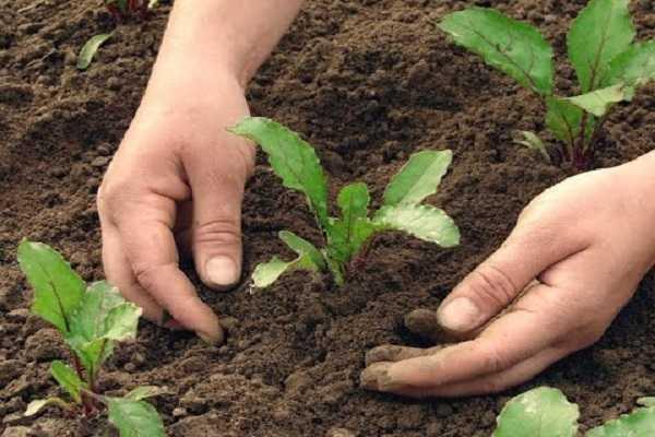 проращивание и уход