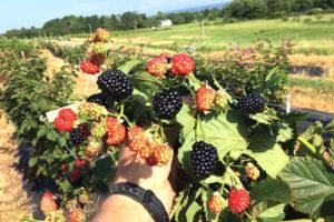 Посадка и уход за ежевикой на Урале, лучшие сорта для выращивания