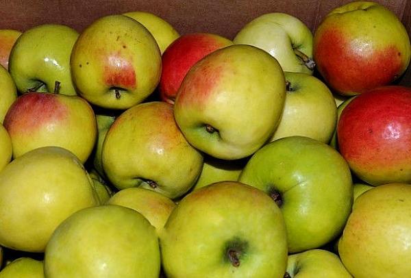 спелые яблони