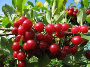 Описание и опылители вишни сорта Любская, посадка и уход