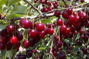 Описание и опылители вишни сорта Малышка, правила выращивания
