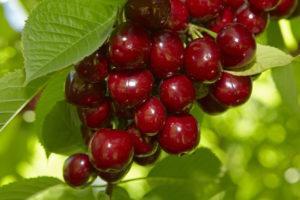 Полная характеристика и описание вишни сорта Молодежная, посадка и уход