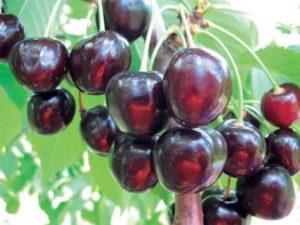 Описание и опылители вишни сорта Морозовка, технология посадки и уход