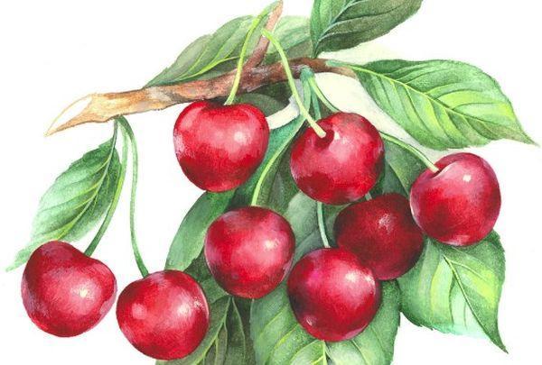 ягоды вишни Железистой