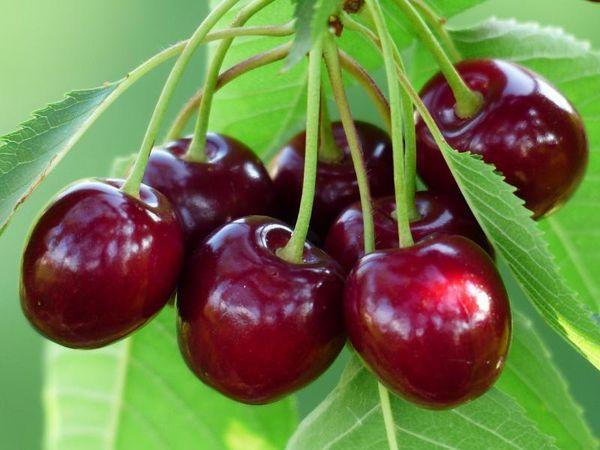 созревание вишни