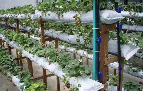 клубника выращивание в мешках