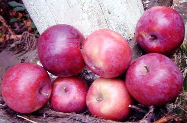 плоды яблок