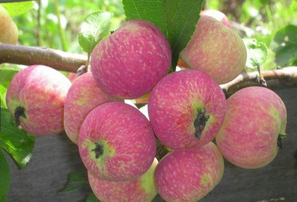 яблоки спелые