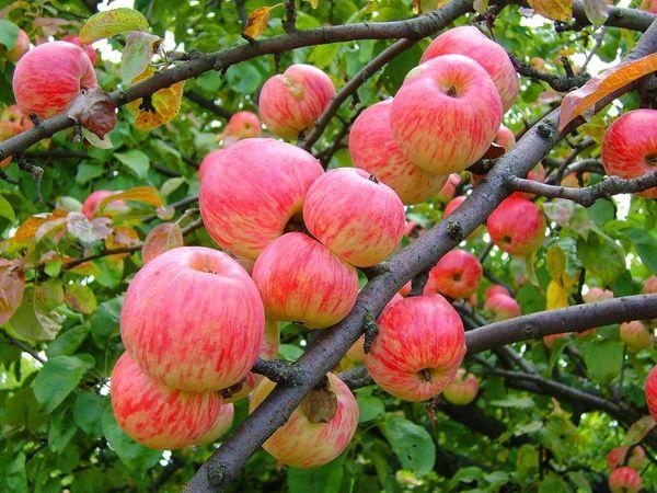 плодя яблони