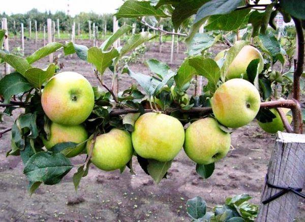 сад яблони синапы