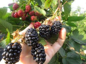 Описание и характеристики 40 лучших сортов ежевики, показатели урожайности