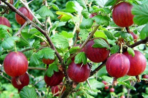 ягоды красного крыжовника